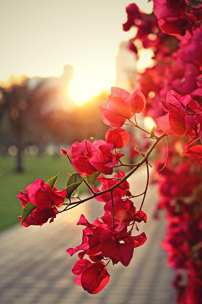 Ảnh hoa giấy trong chiều tà đẹp nhất
