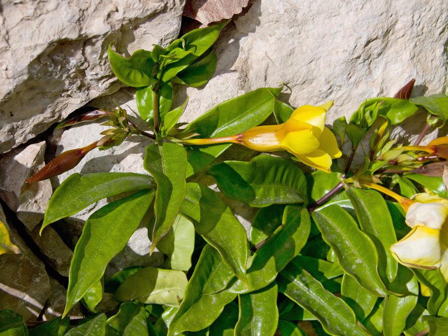 Ảnh hoa Quỳnh Anh nở bên vách đá