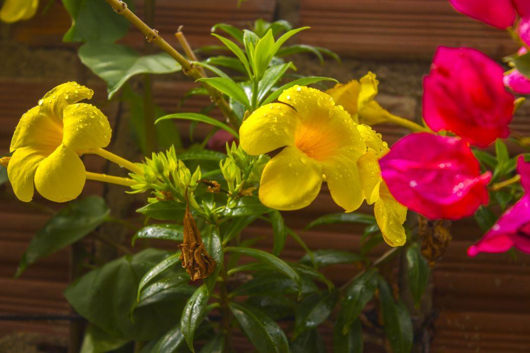Ảnh hoa quỳnh Anh nở đẹp