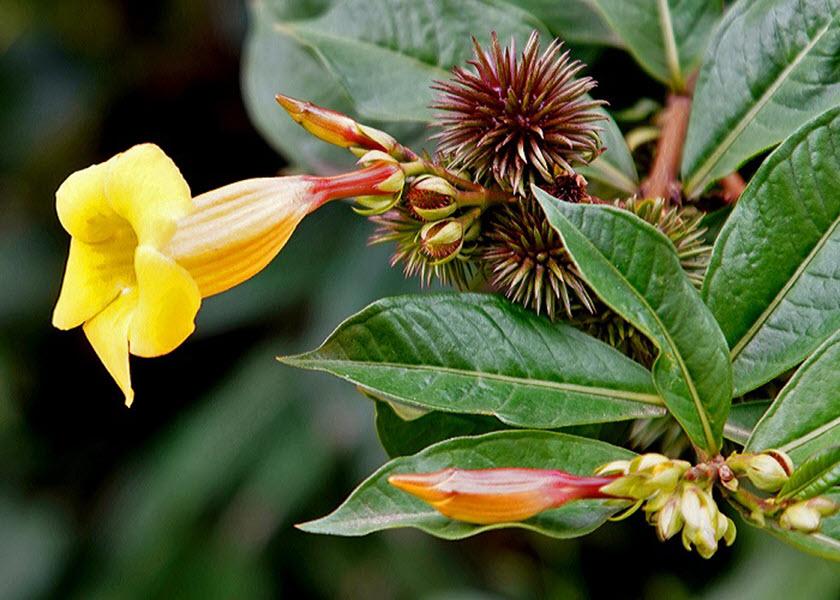 Ảnh hoa Quỳnh Anh và quả