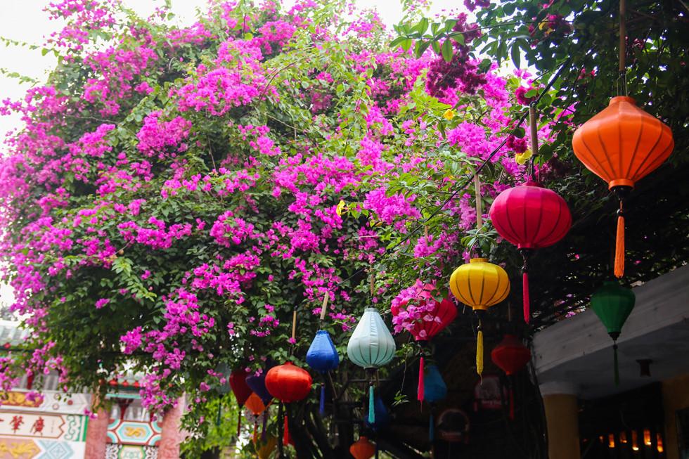 Ảnh Hội An đẹp xiêu lòng mùa hoa giấy