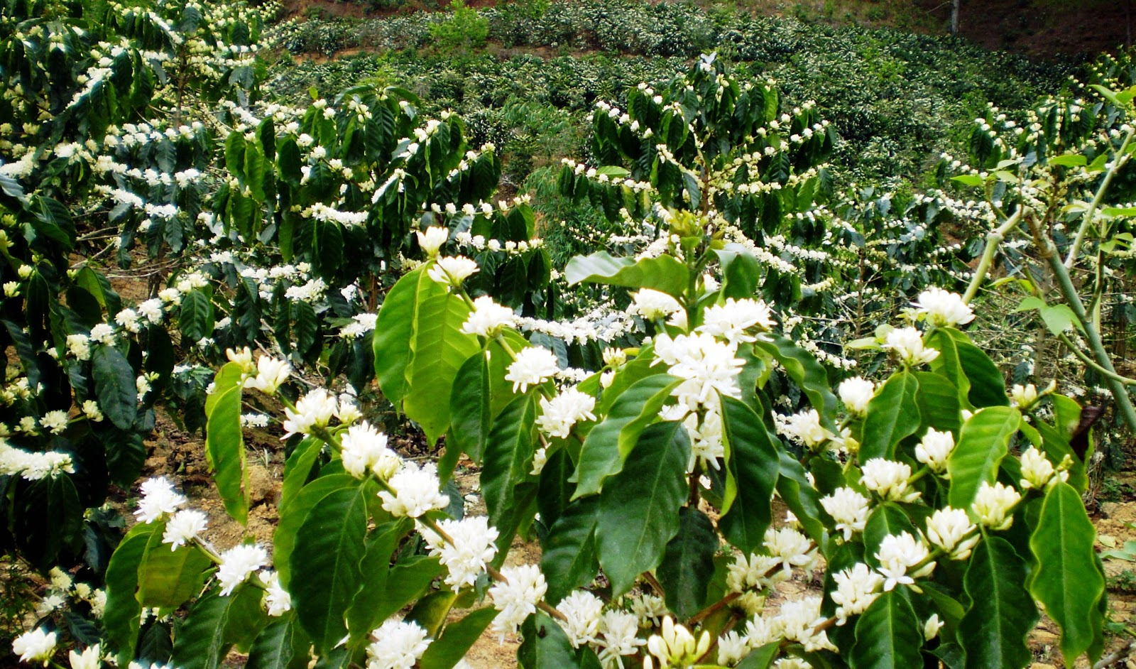 Ảnh mùa hoa cà phê Tây Nguyên