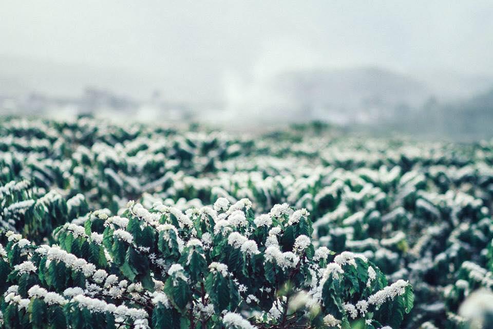 Ảnh mùa hoa cafe nở rộ trắng xóa cả một góc trời