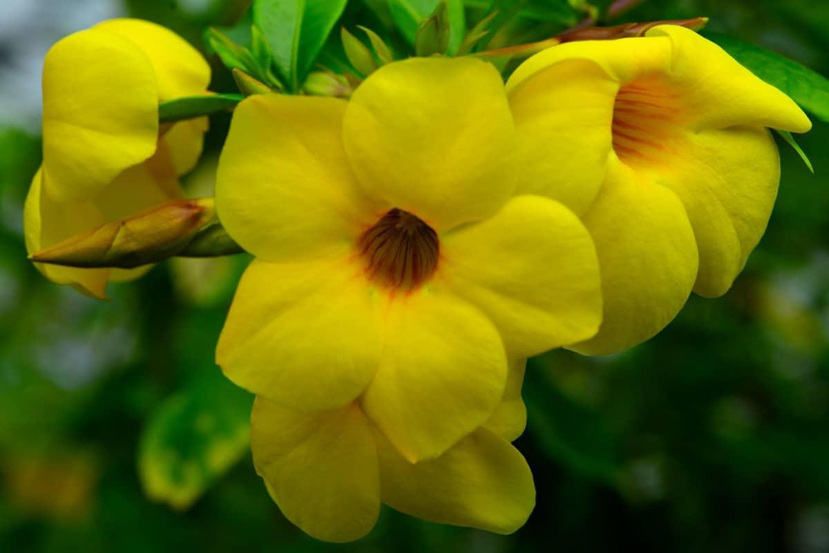 Ảnh những bông hoa Quỳnh Anh nở đẹp nhất