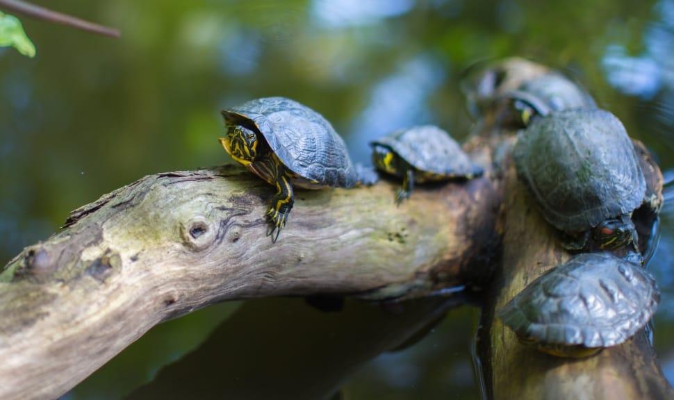 Ảnh những con rùa con cute trên khúc gõ