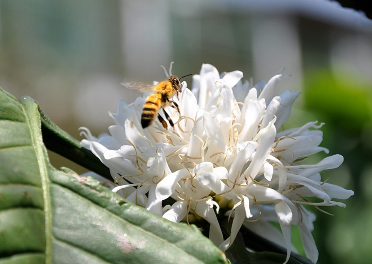 Ảnh ong trên hoa cà phê
