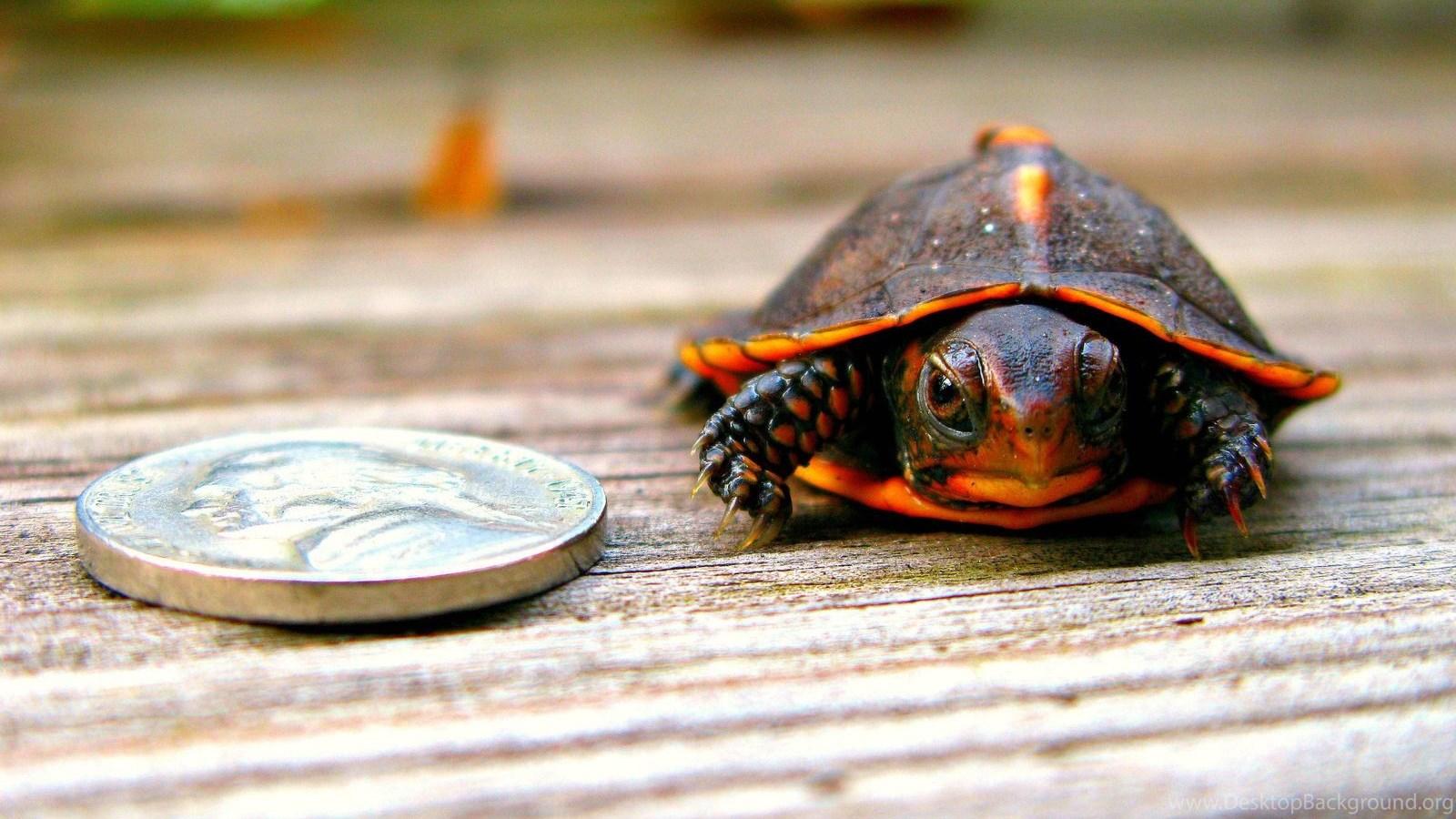 Ảnh rùa mai đỏ đẹp