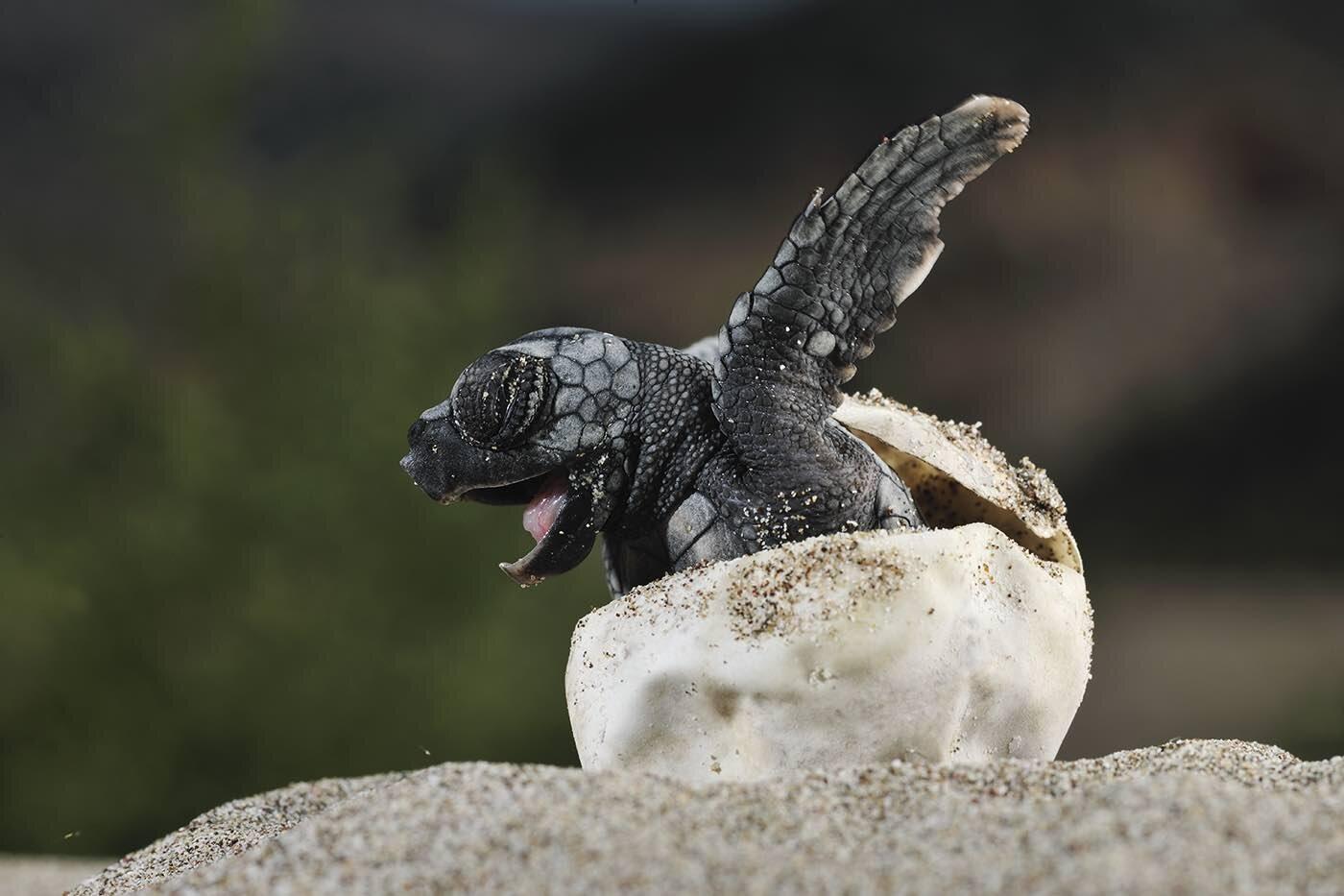Ảnh rùa mới nở dễ thương nhất