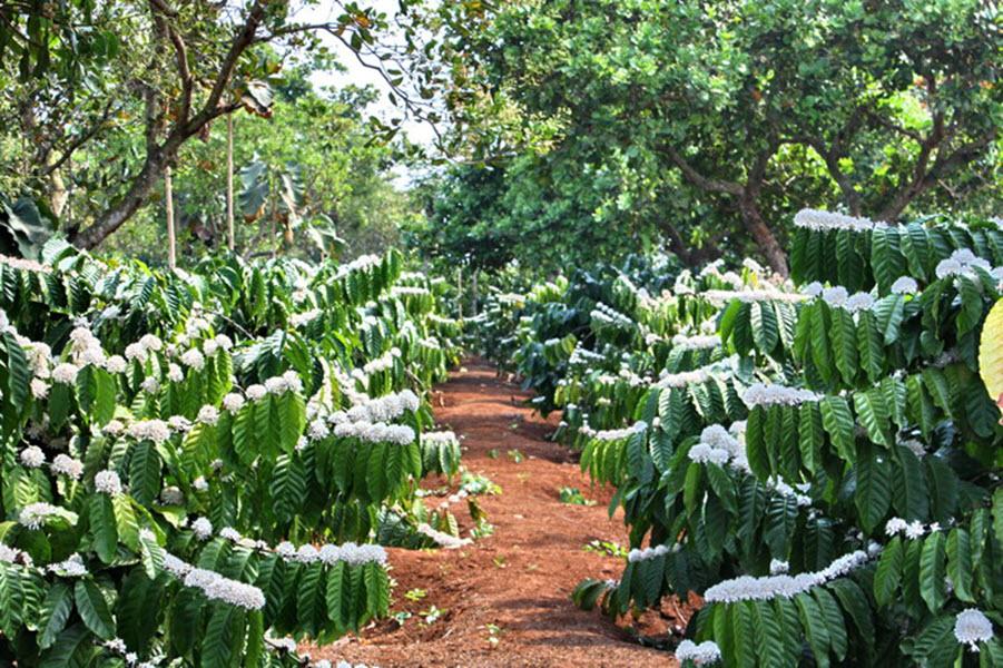 Ảnh vườn cây cà phê ra hoa