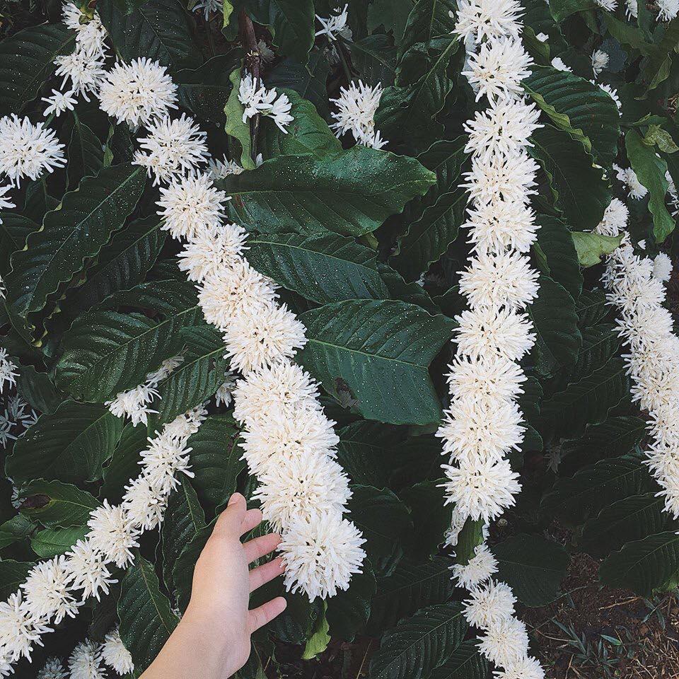 Ảnh vườn hoa cà phê