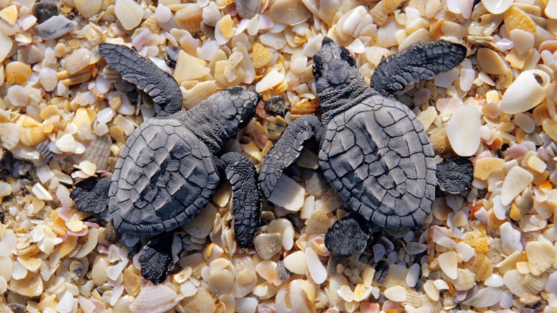Baby Turtles Wallpaper