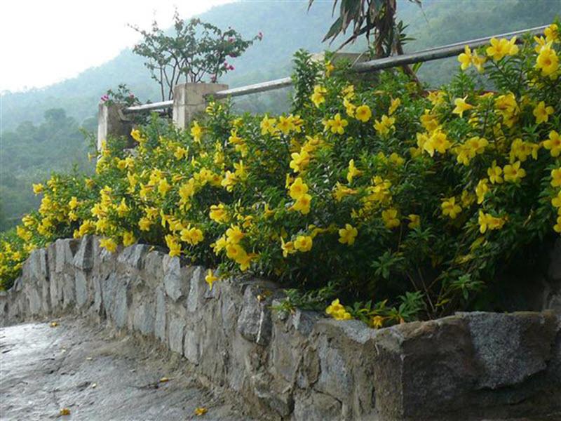 Cây Quỳnh Anh vàng