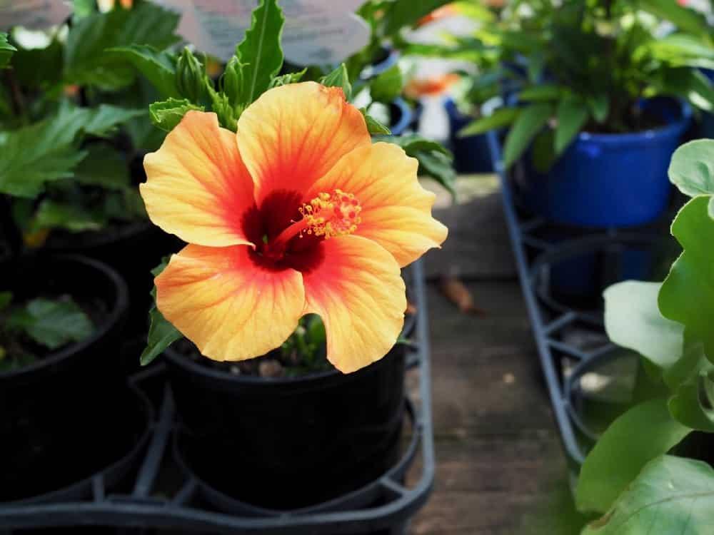 Hibiscus Images