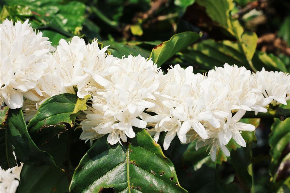 Hình ảnh cà phê ra hoa trắng như tuyết