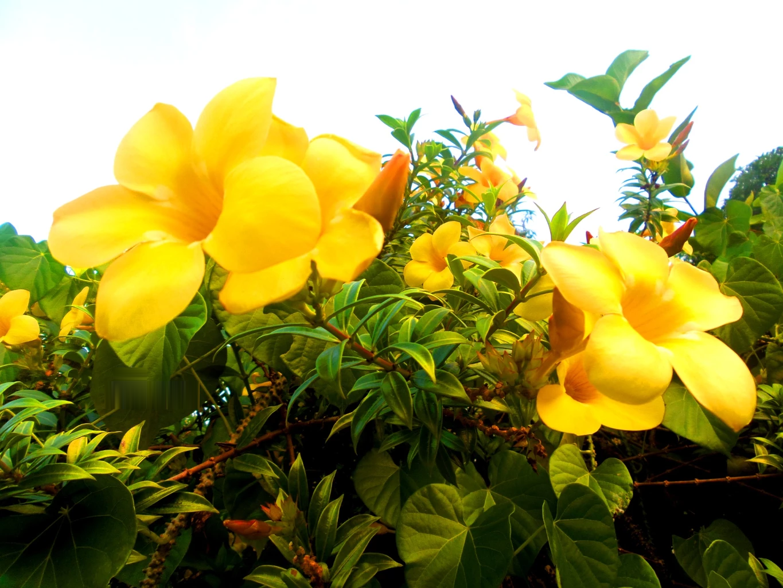 Hình ảnh cành hoa Quỳnh Anh cực đẹp
