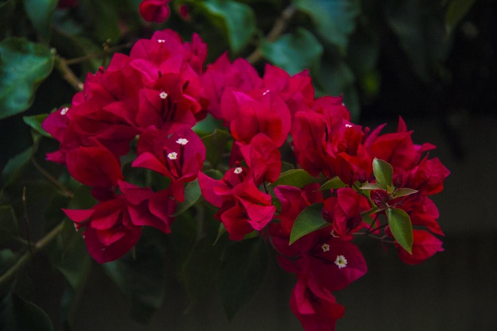 Hình ảnh cây hoa giấy đỏ đẹp nhát]a