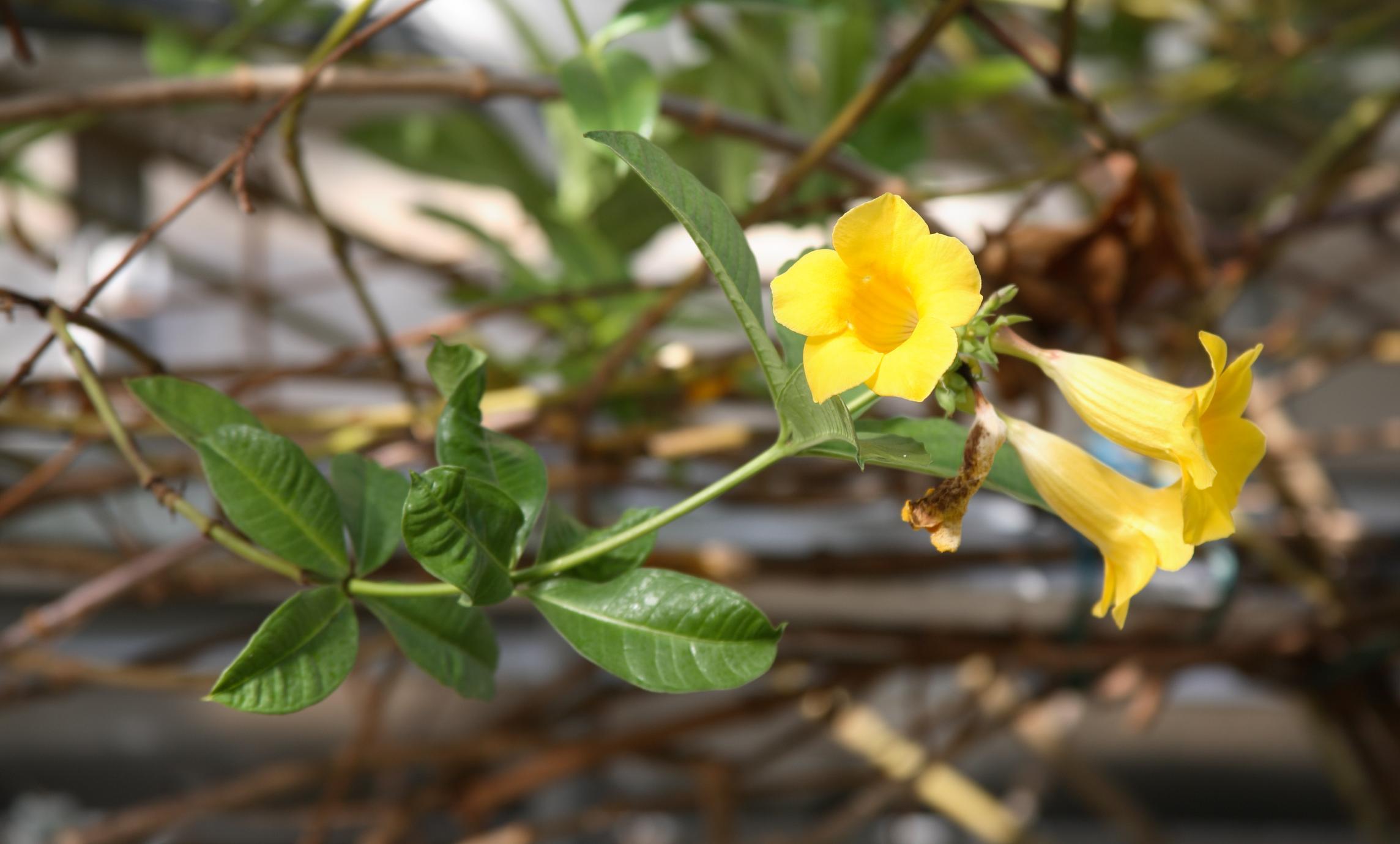 Hình ảnh cây hoa Quỳnh Anh leo