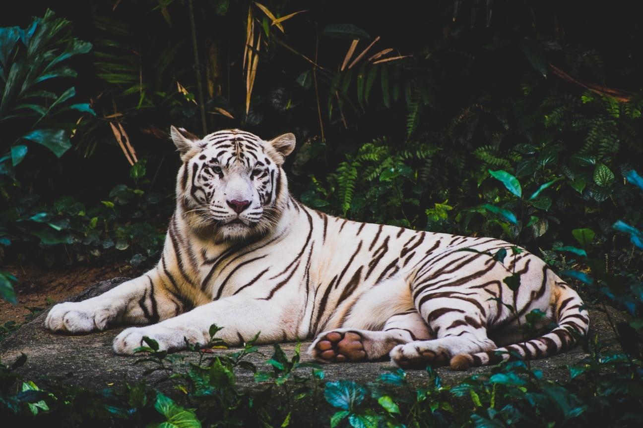 Hình ảnh con hổ đang nằm đẹp nhất