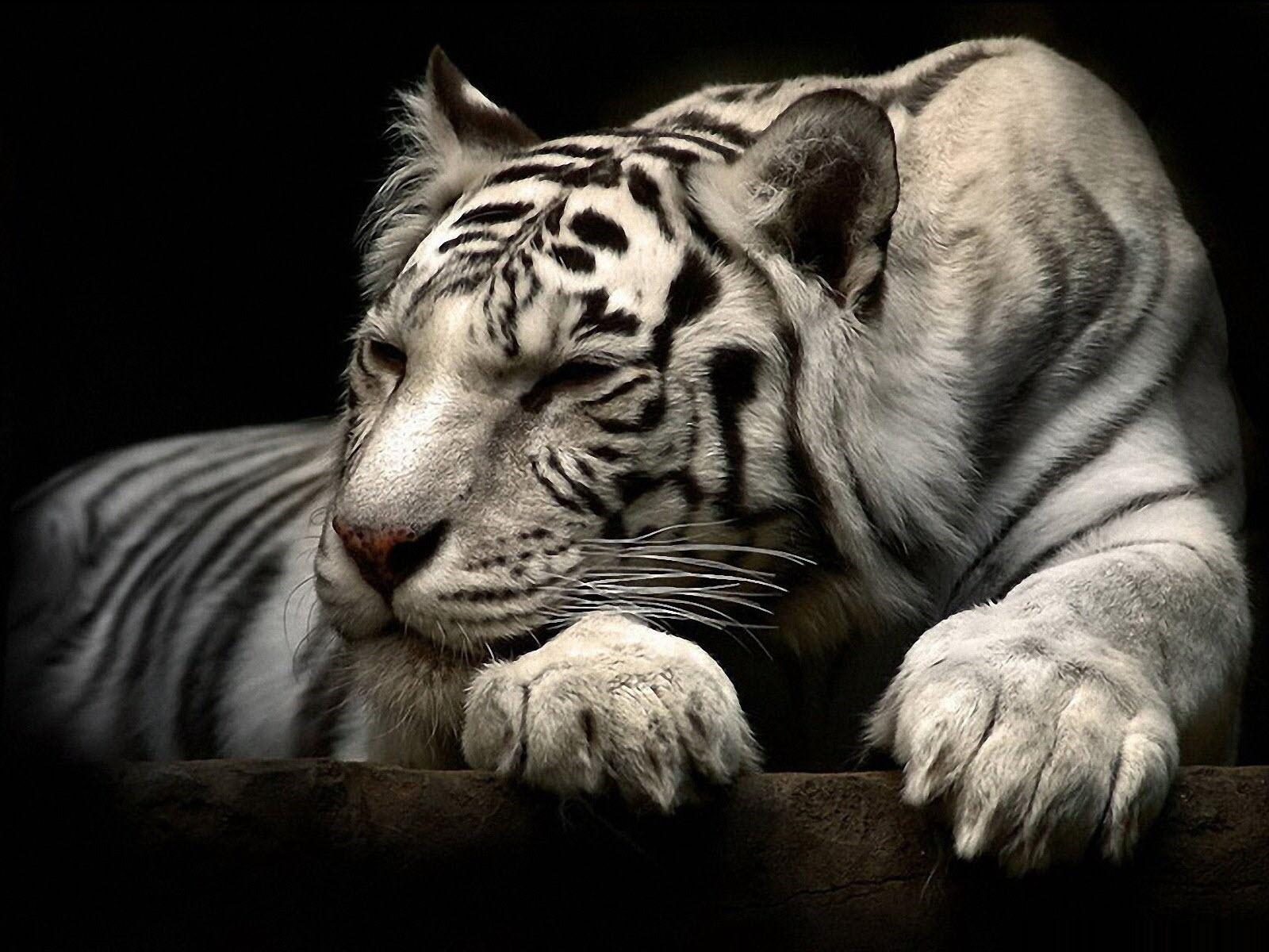 Hình ảnh con hổ đang ngủ