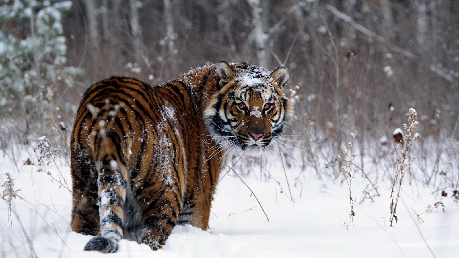 Hình ảnh con hổ đi trên tuyết