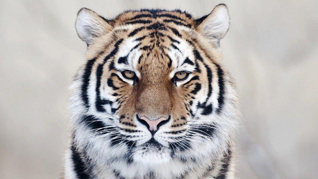 Hình ảnh con hổ mặt buồn