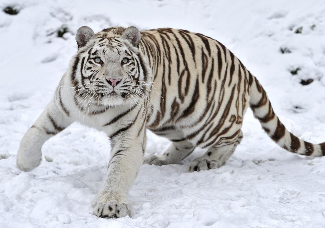 Hình ảnh con hổ và tuyết trắng