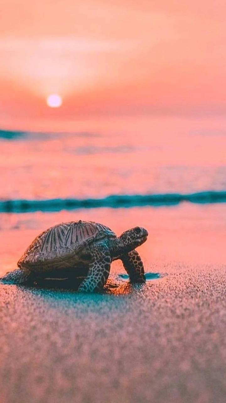 Hình ảnh con rùa vào bờ lúc hoàng hôn