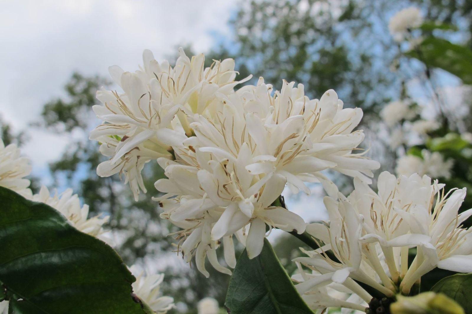 Hình ảnh đẹp nhất vè hoa cà phê