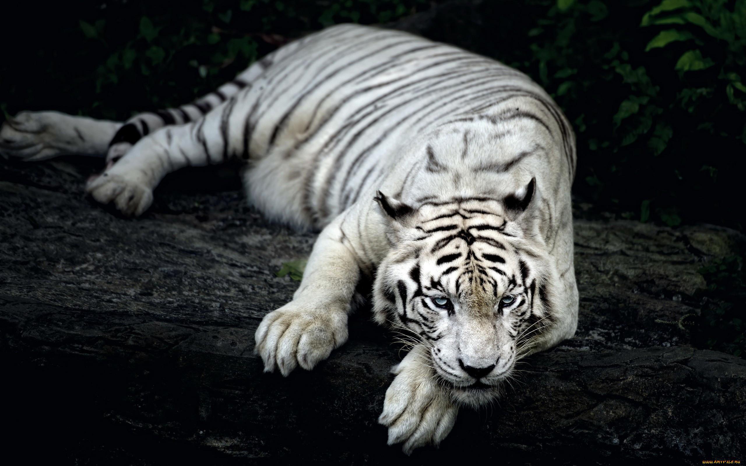 Hình ảnh đẹp nhất về loài hổ trắng