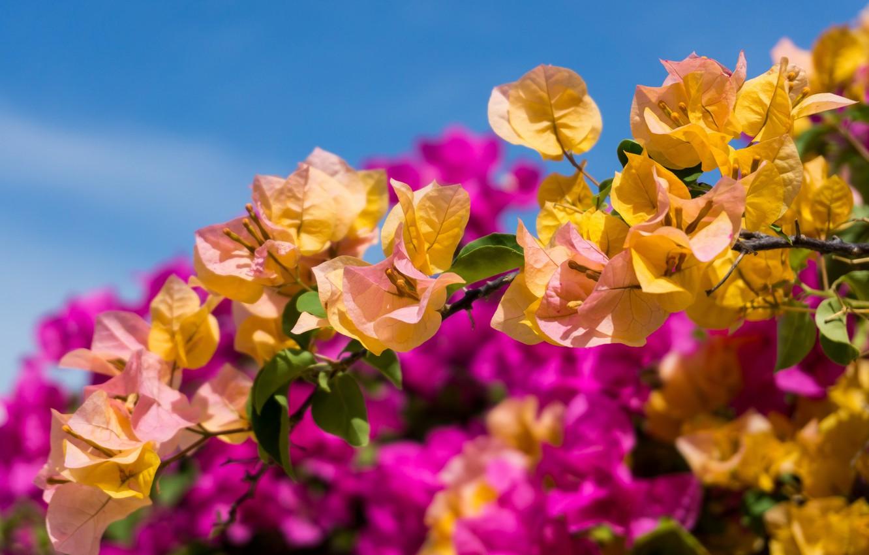 Hình ảnh đẹp về cây hoa giấy màu vàng