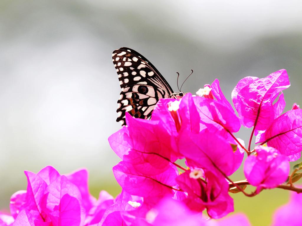 Hình ảnh đẹp về cây hoa giấy