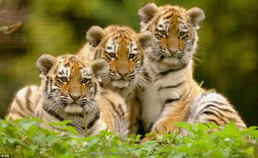 Hình ảnh gia đình nhà hổ đẹp, dễ thương