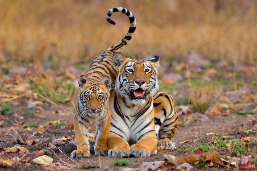 Hình ảnh hổ mẹ và hổ con