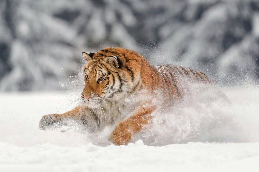 Hình ảnh hổ vằn nghịch tuyết