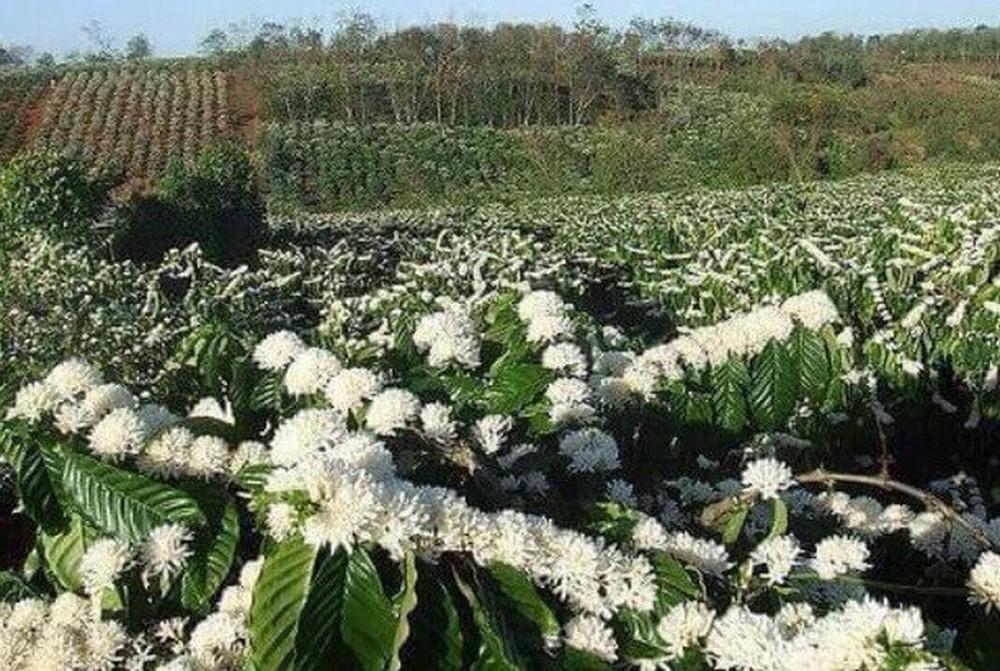 Hình ảnh hoa cà phê nở
