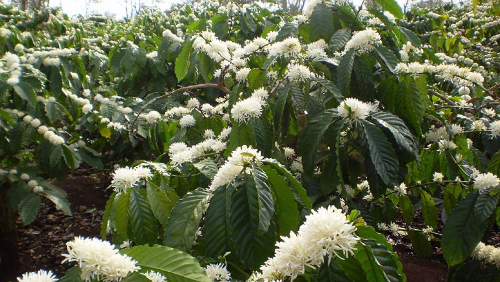 Hình ảnh hoa cà phê Tây Nguyên