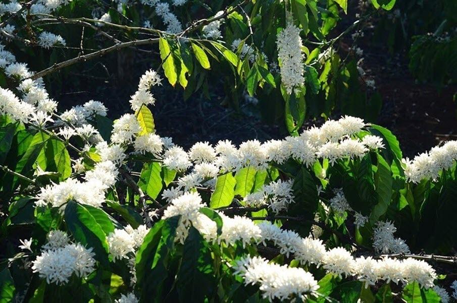 Hình ảnh hoa cây cà phê