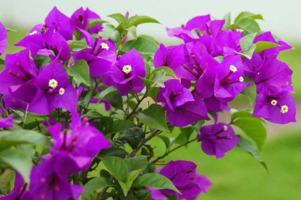 Hình ảnh hoa giấy màu tím