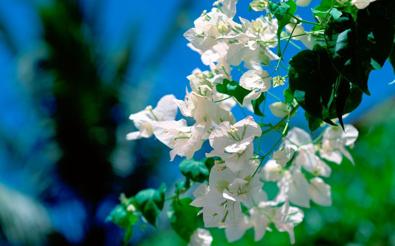 Hình ảnh hoa giấy màu trắng