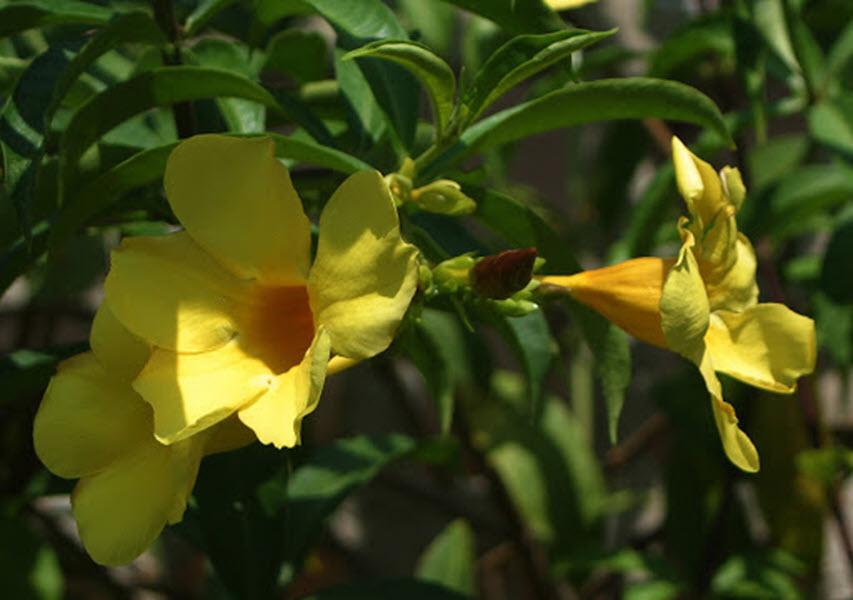 Hình ảnh hoa Quỳnh Anh cực đẹp