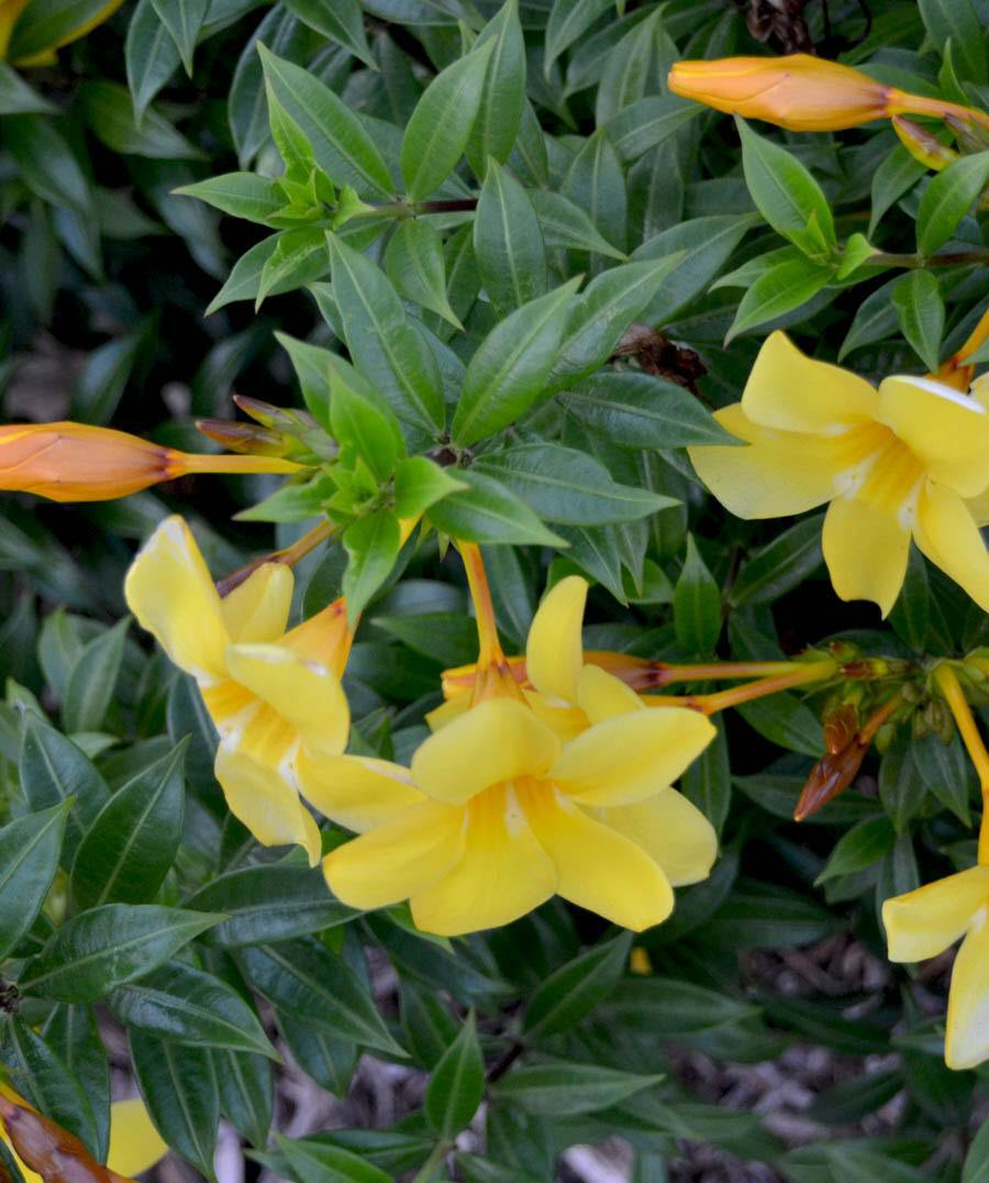Hình ảnh hoa Quỳnh anh lá nhỏ