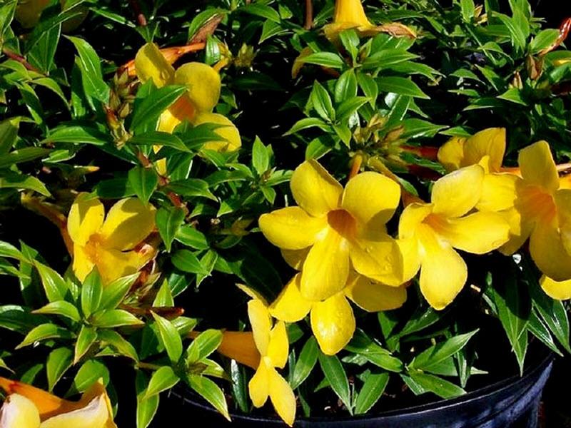 Hình ảnh hoa Quỳnh Anh trồng trong chậu