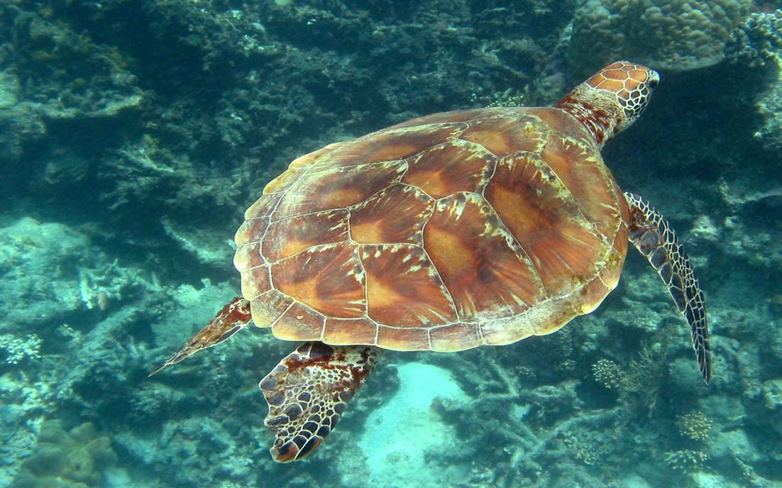 Hình ảnh loài rùa biển đẹp nhất