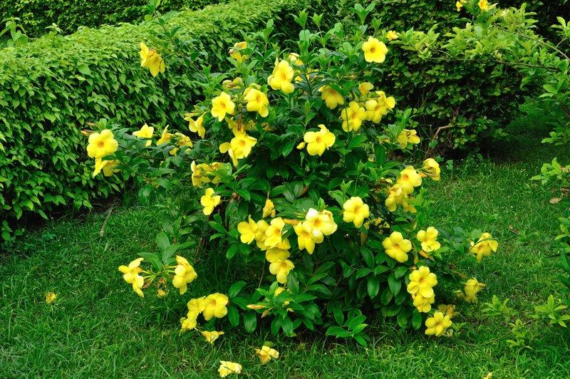 Hình ảnh những bông hoa Quỳnh Anh nở đẹp
