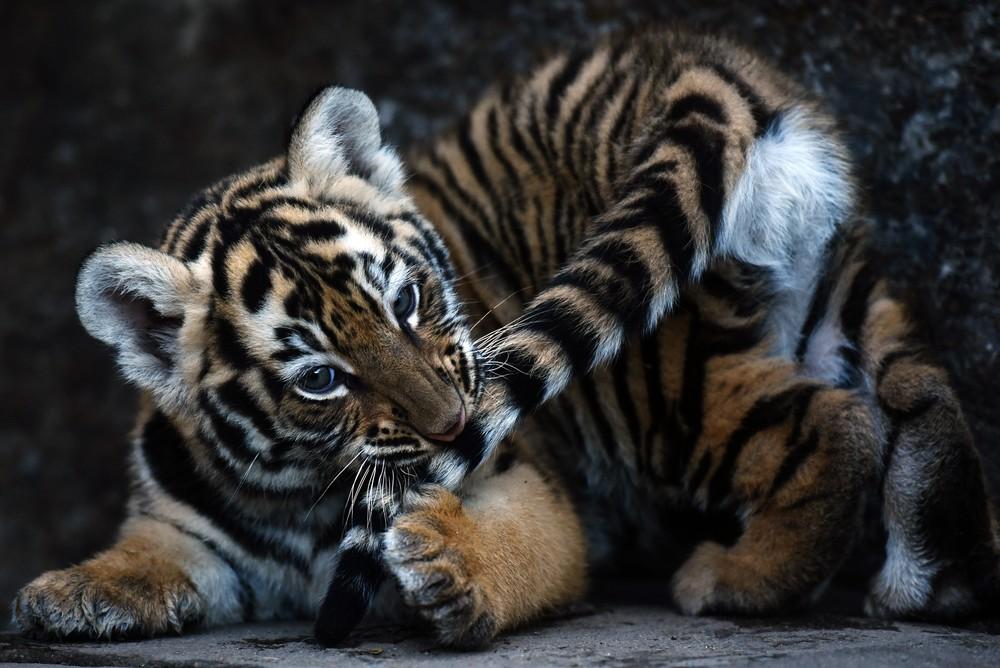 Hình ảnh những con hổ dễ thương nhất quả đất