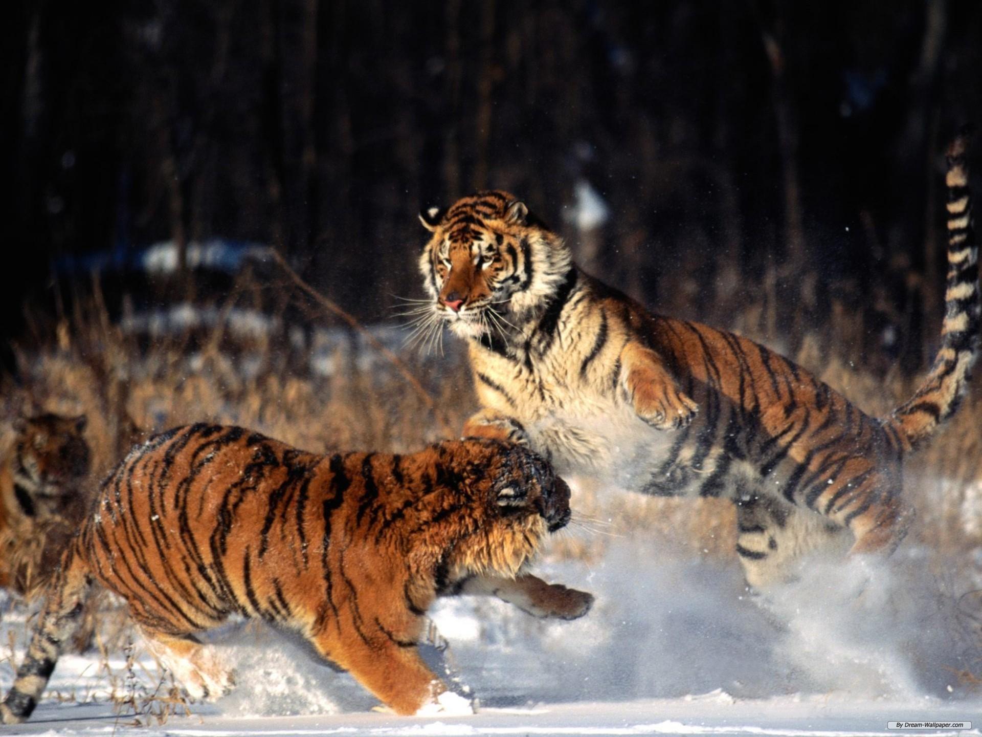 Hình ảnh những con hổ đẹp, dũng mãnh