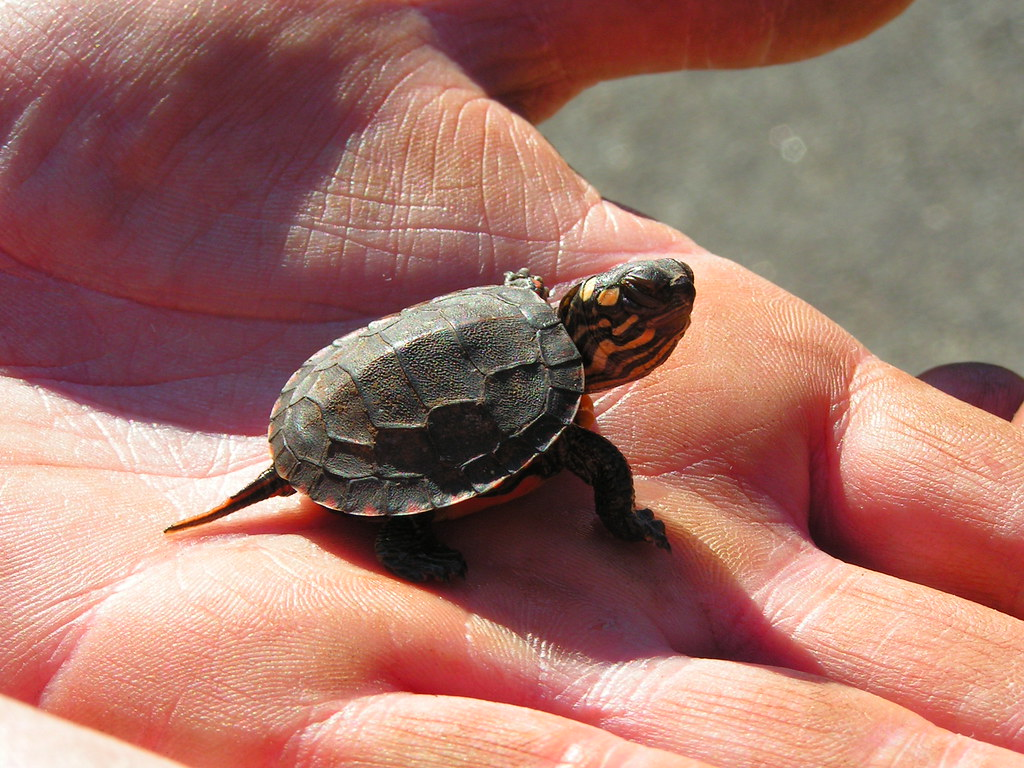 Hình ảnh rùa con ngộ nghĩnh và đáng yêu nhất