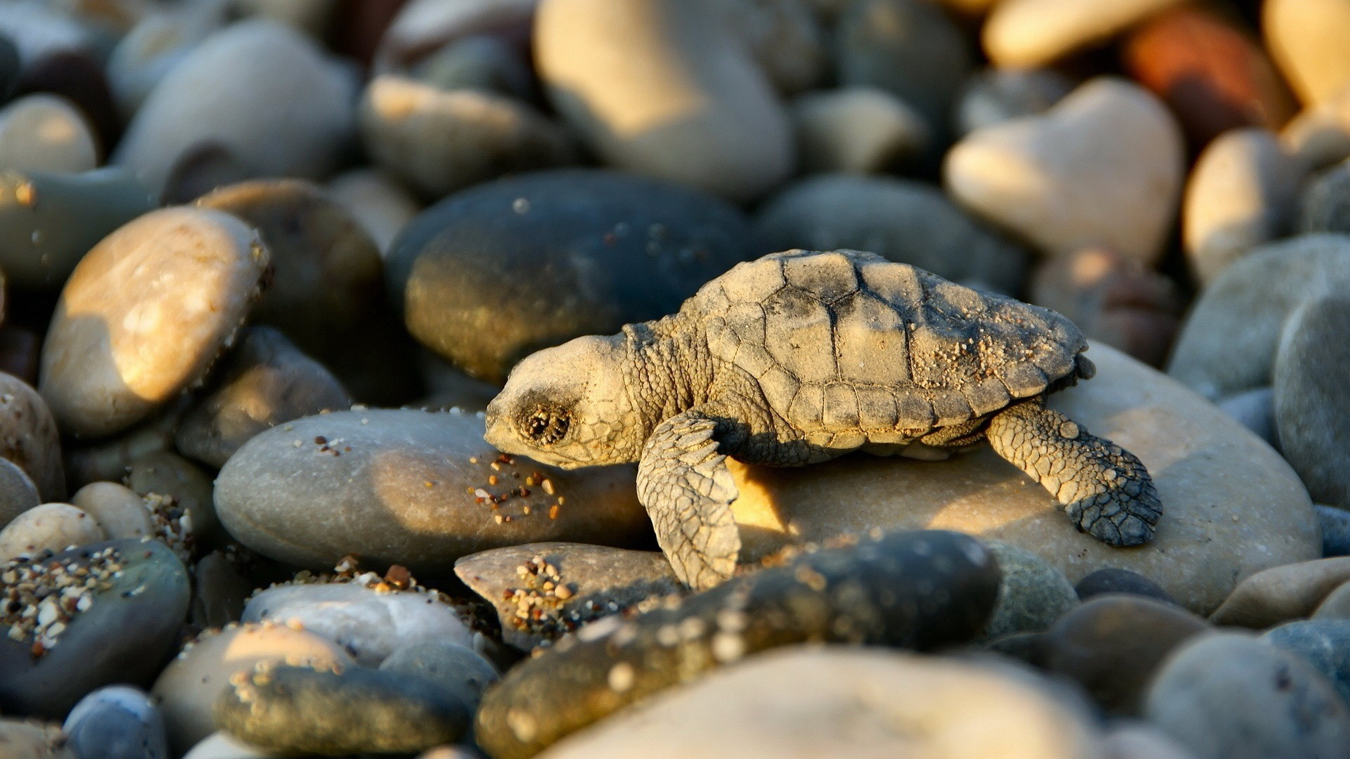 Hình ảnh rùa con phơi mình trên đá