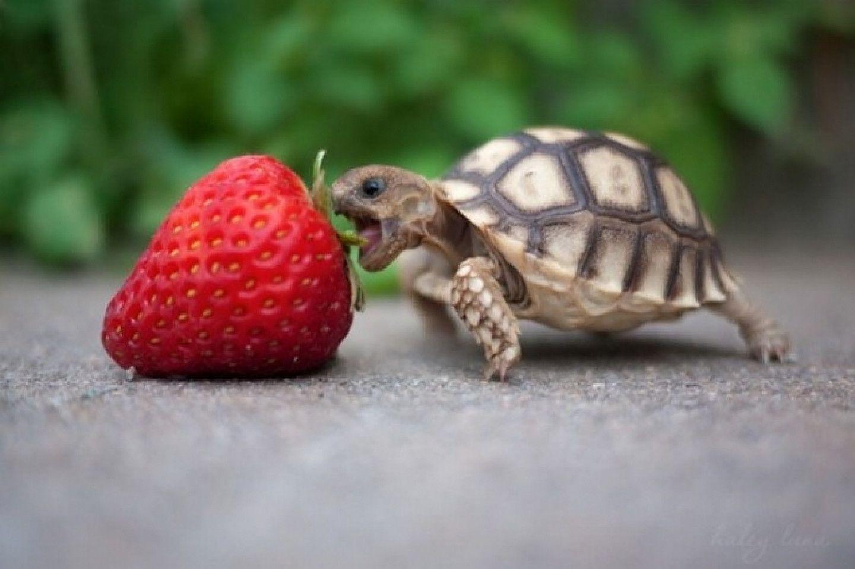 Hình ảnh rùa con và quả dâu tây đẹp