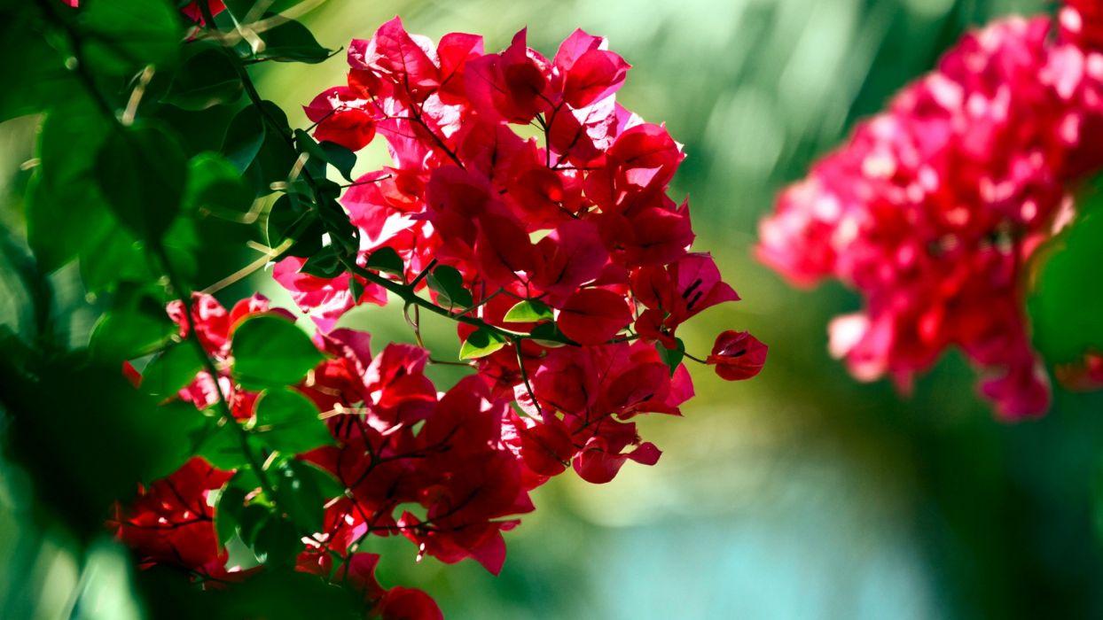 Hình cây hoa giấy đẹp nhất